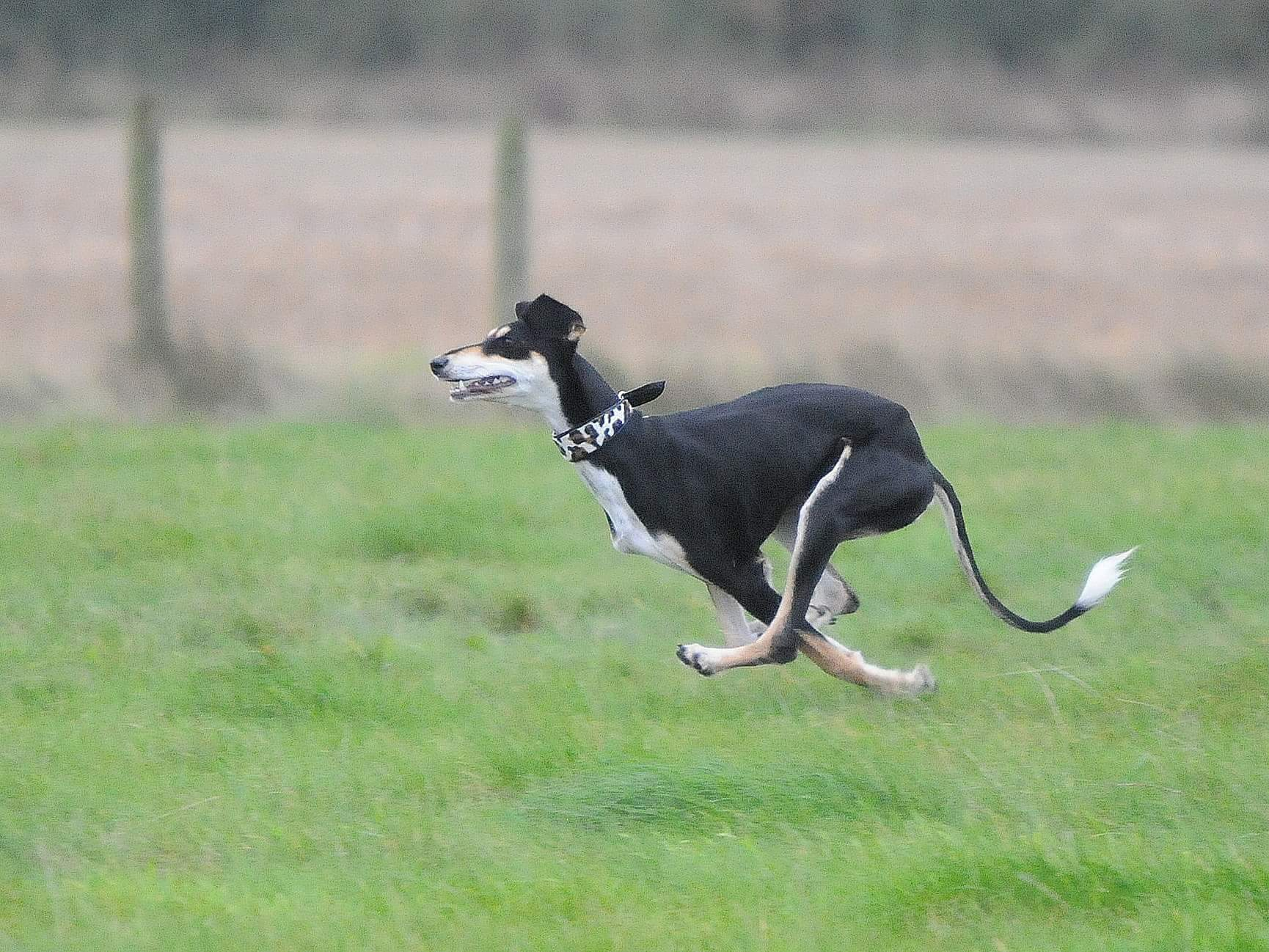 About Dog Moda - Soft padded hound collars, leather dog leads, dog accessories designed with style for whippets, lurchers, Afghans, greyhounds and other sighthounds